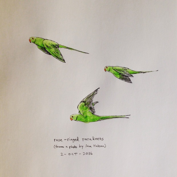Ink and watercolor drawing of rose-ringed parakeets
