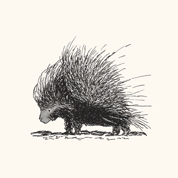 Pen and ink drawing of a porcupine