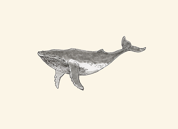 Humpback whale pen and ink drawing