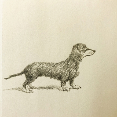 Dachshund - pencil drawing