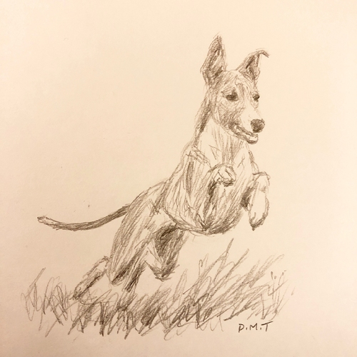 Whippet - pencil drawing
